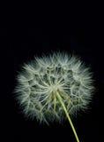 czarny tła dandelion Fotografia Royalty Free