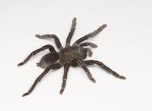 czarny tarantula obraz stock