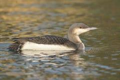 Czarny Throated nurek na wodzie lub Loon obraz stock