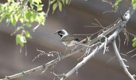 Czarny Throated Wróbli ptak, Kolosalny jamy góry park, Arizona fotografia stock