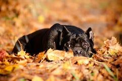 Czarny trzciny corso psa lying on the beach w jesień liść Obrazy Stock