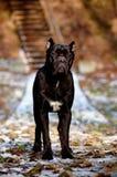 Czarny trzciny corso psa pozycja Fotografia Royalty Free