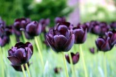 czarny tulipan obrazy stock