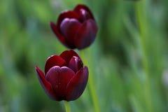 Czarny tulipan Obraz Royalty Free