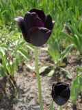 Czarny tulipanowy kwiat 'noc 'królowa Zdjęcie Stock