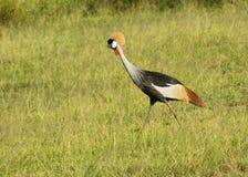czarny żuraw koronowany Uganda Obrazy Royalty Free