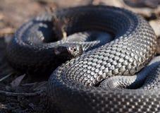Czarny wąż przy lasem przy liśćmi fryzował up w piłce l Obrazy Stock