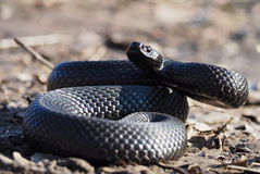 Czarny wąż przy lasem przy liśćmi fryzował up w piłce ponownej Zdjęcie Stock