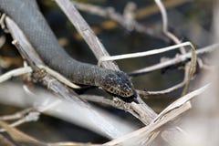 /czarny wąż Fotografia Stock
