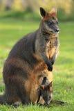 Czarny wallaby zdjęcia royalty free