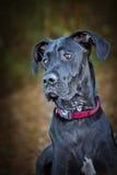 Czarny Wielkiego duńczyka pies zdjęcie stock