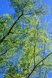 Czarny Wierzbowy drzewo w wiośnie Zdjęcie Stock
