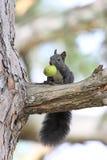 czarny wiewiórka zdjęcia royalty free