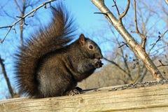 czarny wiewiórka Obraz Royalty Free