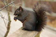 czarny wiewiórka Obrazy Stock