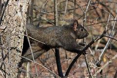 czarny wiewiórka Obrazy Royalty Free