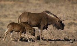 Czarny wildebeest Zdjęcia Royalty Free