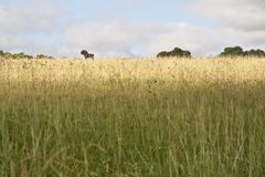 Czarny Wildebeest Obraz Stock
