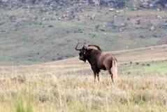 Czarny Wildebeest w Afryka Fotografia Stock