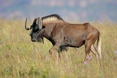 Czarny wildebeest w obszarze trawiastym Zdjęcia Royalty Free