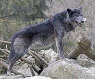 Czarny wilk (1) Zdjęcia Royalty Free