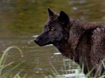 Czarny wilk przed stawem Obraz Royalty Free