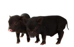 czarny świnia Obraz Stock