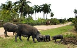 czarny świnie Obraz Stock