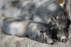 czarny świnie Zdjęcia Royalty Free
