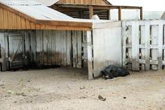 Czarny świniowaty lying on the beach blisko ogrodzenia Zdjęcie Royalty Free