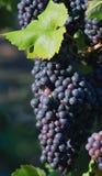 czarny winogrona wino Obrazy Royalty Free
