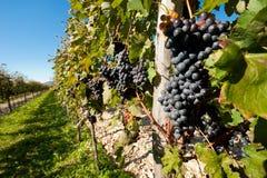 czarny winogrono Zdjęcie Stock