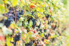 Czarny winogrono 10 Obrazy Royalty Free
