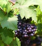 Czarny winogrono w ogródzie, wina winogrono Obraz Royalty Free