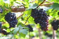 Czarny winogrono w ogródzie, wina winogrono Fotografia Stock