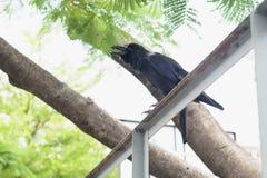 Czarny Wroni ptak Obraz Royalty Free