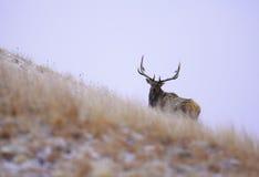 Czarny wzgórze łoś Fotografia Royalty Free