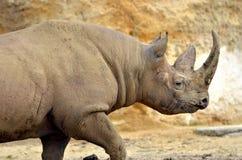 Czarny zbliżenie nosorożec zdjęcia royalty free