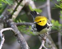 czarny zielony warbler Obraz Stock
