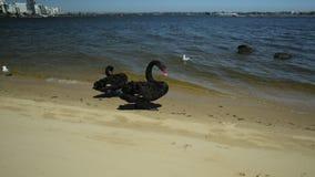 Czarnych łabędź Perth zatoka zdjęcie wideo