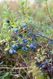 czarnych jagod krzaków naturalny dziki Obrazy Stock