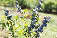 Czarnych jagod rośliny z dojrzenie jagodami zdjęcia stock