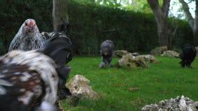 Czarnych kurczaków mięsny traken Brahma zdjęcie wideo