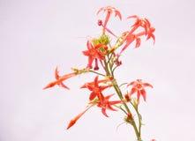 Czarodziejek Tubowi Wildflowers Na Białym tle Zdjęcie Stock