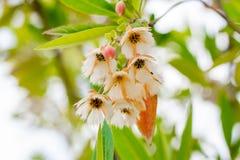 Czarodziejska kiecka, leluja doliny Elaeocarpus Drzewny grandiflorus Sm kwiaty w miastowym parku, Bangkok, Tajlandia obraz stock