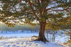 Czarodziejska sosna na bankach lasowy jezioro Zdjęcie Stock