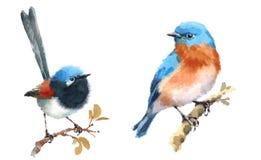 Czarodziejska strzyżyka i Bluebird ptaków akwareli ilustraci Ustalona ręka Rysująca ilustracji