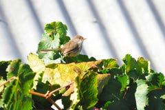 czarodziejski żeński gronowego winogradu strzyżyk Zdjęcia Royalty Free