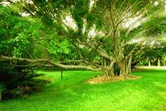 Czarodziejski banyan drzewo Obrazy Royalty Free