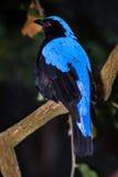 Czarodziejski Bluebird Fotografia Stock